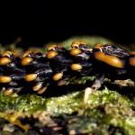 Lysid beetle trilobite larva S