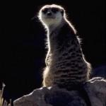 Meercat sdz