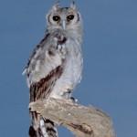 V. eagle owl samburu 803