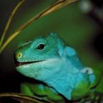 banded iguana sdz