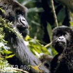 gorilla mom & kid