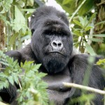 male gorilla rwanda