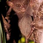 tarsier corella