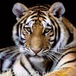 tiger, siberian sdz copy